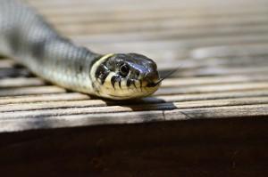 grass-snake-379025_1280
