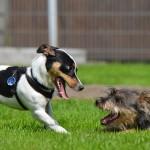 puppy-games-662806_1920
